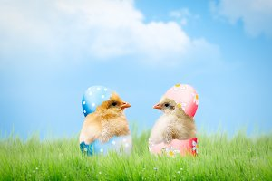 Cute newborn Chicks in pink and blue shell