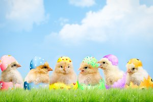 Cute newborn Chicks in a colorful shell