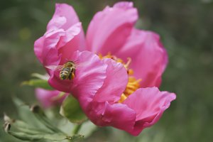 Pink flower and flying bee