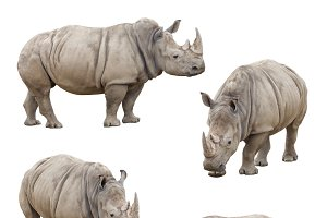 Set of Four Rhinoceros on White
