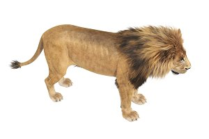 Lion animal feline