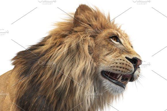 Lion Animal Orange Fur Close View