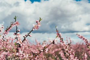 flowering peach branches