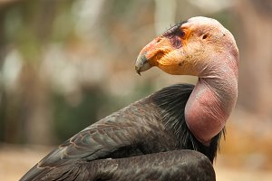 Endangered California Condor Closeup