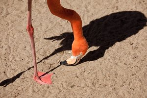 Flamingo with Head to the Ground