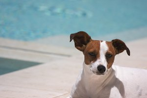 Jack Russell Dog Relaxing Poolside