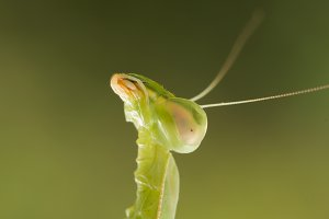 Macro of Praying Mantis