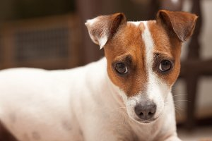 Jack Russell Terrier Puppy Portrait