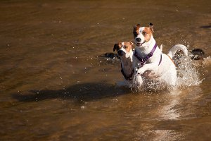 Jack Russell Terriers Play in Water