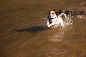 Jack Russell Terrier Plays in Water