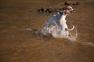 Two Jack Russells Wrestle in Water