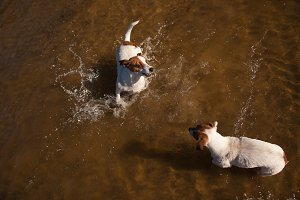 Two Playful Jack Russell Terriers