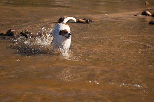 Playful Jack Russell Terrier in Lake