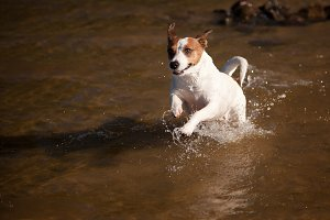 Jack Russell Romping in a Lake