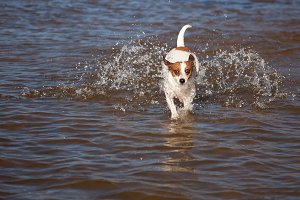 Jack Russell Pup Plays in the Water
