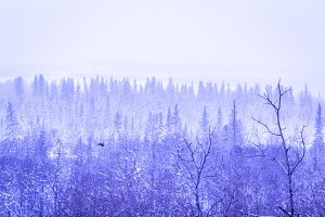 Magical Purple Winter Forest