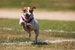 Energetic Jack Russell Terrier Dog