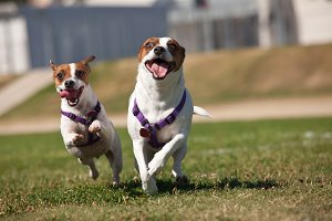 Energetic Jack Russell Terrier Dogs