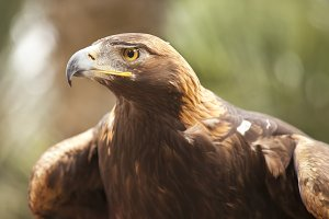 Beautiful California Golden Eagle
