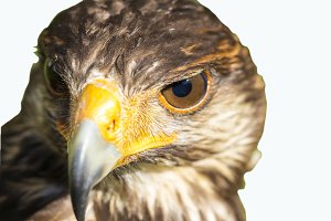 Portrait of Harris hawk.