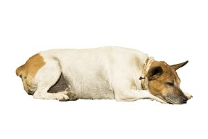 Old dog resting isolated in white