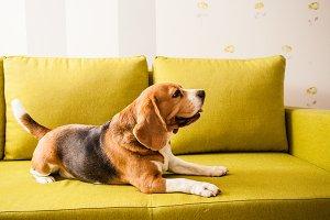 lying beagle dog