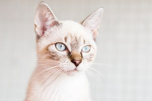 White cat with light blue eyes.