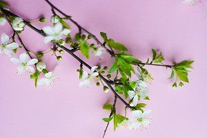 Spring concept with blooming cherry