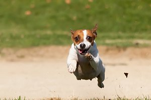 Energetic Jack Russell Terrier Runs