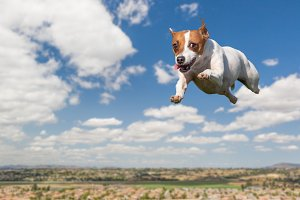 Jack Russell Dog Flies in the Air