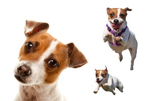 Cute, Energetic Jack Russell Terrier