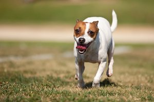 Energetic Jack Russell Dog Runs