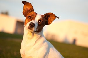 Beautiful Jack Russell Terrier Dog