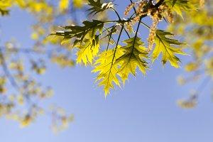 fresh oak foliage