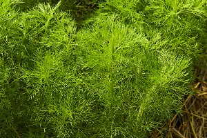 Dill. Herb leaf background, Organic