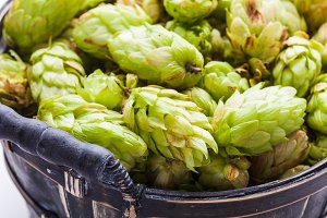 The fresh green hop cones