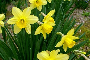 Narcissus Flower