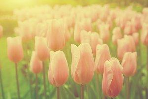 Pink tulip flowers in the garden