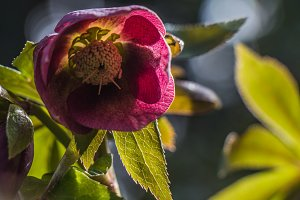 Christmas rose - spring is coming