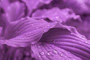 Leaves Hosta Drops Rain Close-up