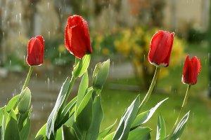 tulips on a rainy day 2