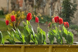 tulips on a rainy day 1
