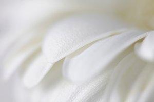 Flower petals. Soft focus.