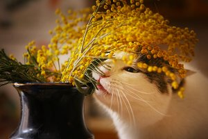 cute funny cat gnaw chew mimose flowers in vase