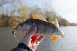Common perch in fisherman's hand