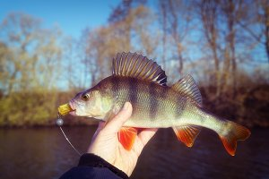 Perch in fisherman's hand