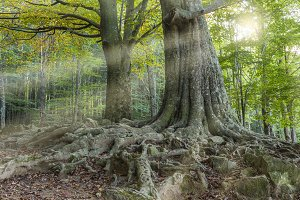 Tree with huge roots