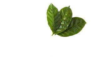 fresh green coffee leaves