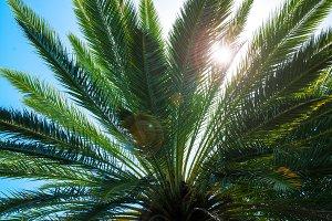 Palm tree leaves. Leafs of palm tree