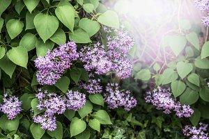 Blooming of lilac bush